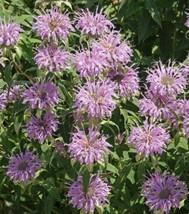 Wild Bergamot Seeds. 1/4 oz, or 19000 seeds - $21.98