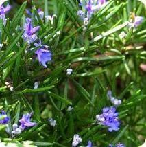 30 Seeds Rosemary - Heirloom Perennial HH01 - $11.99