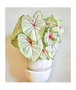 2 Bulbs of Caladium White Queen Tropical Elephant Ear Heart of Jesus Ang... - $10.99