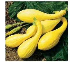 20 seeds Early Crookneck Summer Squash Golden Yellow Heirloom Cream 55 days - $2.29