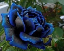 Midnight Blue Rose Black and Blue Petals 50pcs Seeds #GMS09  - $18.17