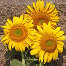 MAMMOTH sunflower grey stripe 1 pound seeds - $48.99