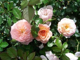 Apricot Drift NEW Groundcover Rose 2 Gal Shrub Plants Plant Disease Resist Roses - $43.60