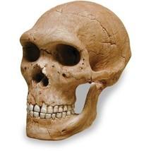 skullduggery 0269 Neandertal Skull - $160.99