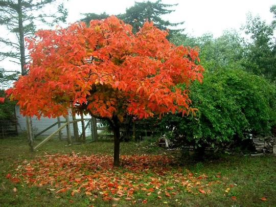 American Persimmon tree  qt. pot (Diospyros virginiana 'American)