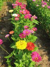 40 Seeds - State Fair Mix - Zinnia Flower - $4.99