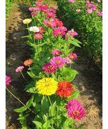 40 Seeds - State Fair Mix - Zinnia Flower - $7.99