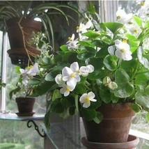 SHIP FROM USA Begonia Wax White Flower Seeds (Begonia Semperflorens Whit... - $34.93