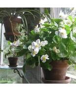 SHIP FROM USA Begonia Wax White Flower Seeds (Begonia Semperflorens Whit... - $34.93