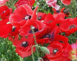 100000pcs Very Graceful Papaver Rhoeas Red Corn Poppy Seeds IMA1 - $49.19