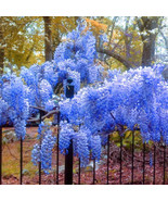 10 Blue Chinese Wisteria Seeds Purple Floribunda Wisteria Vine S030 - $5.09