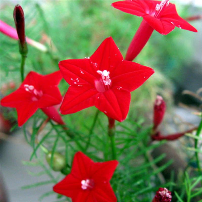 New arrival 50 cardinal climber vine red flower seeds quamoclit