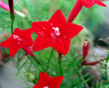 New arrival 50 cardinal climber vine red flower seeds quamoclit thumb155 crop