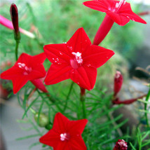 New arrival 50 cardinal climber vine red flower seeds quamoclit thumb200