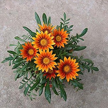 20PCS Very Graceful Orange Gazania Flower Seeds IMA1 - $14.99