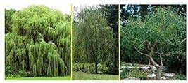 3 Willow Tree Bundle - 3 Different Genus - Weeping, Austree, Corkscrew - $28.08