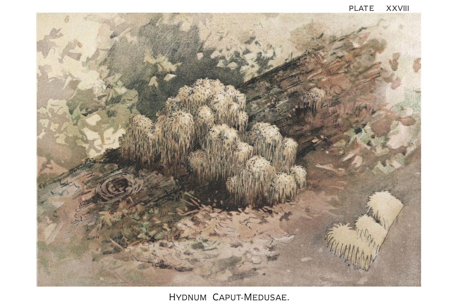 W. Hamilton Gibson: Hydnum Caput Medusae - Harper Publishers - 1895 - $12.82 - $19.75