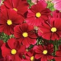 250 Seeds - Cosmos Dazzler Bargain Crimson Red Rarity - $8.99