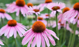 200 Seeds Herb/Flower Seed: Echinacea Fresh Seed - Gardening - Outdoor Living - $30.00