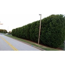 50 Plants Thuja Green Giant Natures Privacy Fence Green Tall Beautiful H... - $283.09