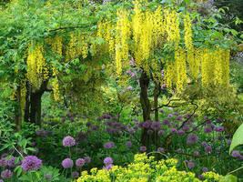Golden Rain Tree Koelreuteria Paniculata Seedling - $34.00