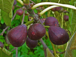 Live Plant Fig Tree - 'Texas Everbearing' - Fruiting Fig Tree - Ficus Carica - $40.99