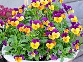 2000+JOHNNY JUMP UP Seeds Wildflower Spring/Fall Blooms Garden/Patio Container - $5.00