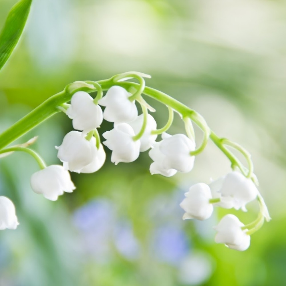20Seeds Lily of the Valley flower seeds , bell orchid seeds,rich aroma bonsai