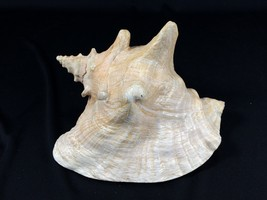 "Large Conch Type Shell Approximately 8"" long - $29.99"