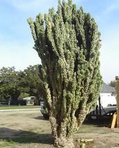 Cereus peruvianus monstrosus 10 seeds * cactus *edible fruit* bizarre Co... - $2.77