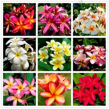 20pcs/bag,Multiple color Frangipani Plumeria Rubra Flower flores,perenni... - $1.22