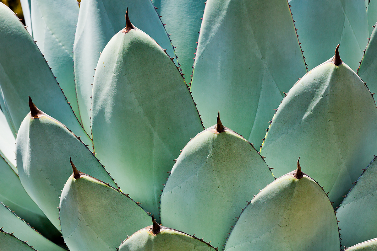 Agave Leaves, Fine Art Photography, Paper, Metal, Canvas Prints
