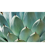 Agave Leaves, Fine Art Photography, Paper, Metal, Canvas Prints - $40.00