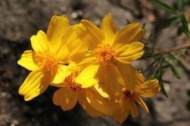 Tagetes Lemmonii Mount Lemmon Marigold 10 Samen - $10.52