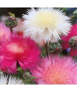 SHIP From US Sweet Sultan Imperialis Mix Flower(Amberboa moschata)100+Se... - $20.99