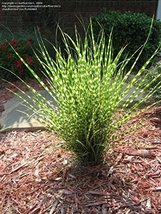 Miscanthus 'Gold Bar' Live Plant - fit 1 Gallon pot - w FREE GIFT - From... - $11.99