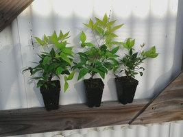 10 Dwarf Nandina Firepower plants (ornamental shrub) image 3