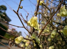 1 Starter Plant of Corylopsis Pauciflora - Buttercup Winter-hazel - $71.28