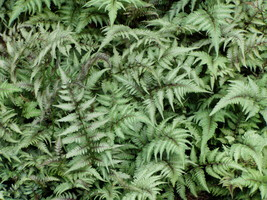 Japanese Painted Fern 25 Plants in 3-1/2 inch Pots FREE SHIPPING - $147.25