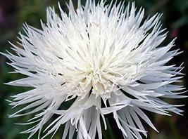 Bachelor Button, Tall White Seeds, Organic, 50+ Seeds, Beautiful White C... - $5.72