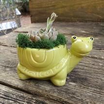 "Echeveria in Turtle Planter, Live Succulent, 5"" Green Ceramic Tortoise Pot image 5"