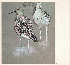 BEAUTIFUL VINTAGE BIRD PRINT ~ ADULT RUFF IN MOULT - $37.40