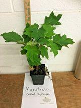 Munchkin Oakleaf Hydrangea image 5