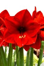 1 Bulb of Amaryllis RED LION, Dutch Hippeastrum, Size 36 - $17.95