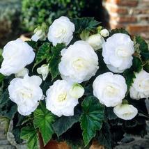 Begonia Tuberosa Double White Flower - 30 Seeds - $9.49