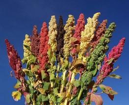 Brightest brilliant quinoa 1 thumb200