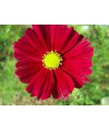 300 Pcs Seeds Bipinnatus Tetra Versailles Cosmos Wine Red Flower - DL - $16.00