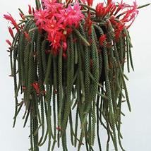 Rat Tail Cactus Plant - $28.41