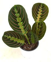 Starter Plant Red Prayer Plant Maranta House Plant - $25.73