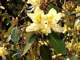 1 Starter Plant of Rhododendron Triflorum - $81.18